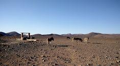 marrocos de mota Camel, Animals, Travel Photography, Morocco, Motorbikes, Animales, Animaux, Camels, Bactrian Camel