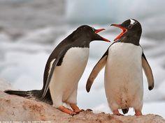 Pygoscelis papua / Pingüino Juanito/ Gentoo Penguin / Manchot papou/Eselspinguin