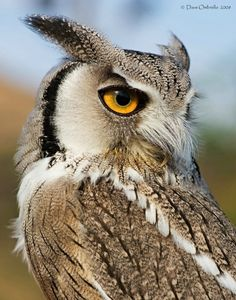 Looking Back.. White faced owl