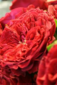 David Austin Wedding Rose Tess