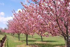 Kwanzan Cherry Tree Care