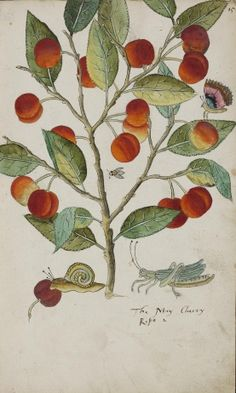 Painting from the Tradescants' Orchard