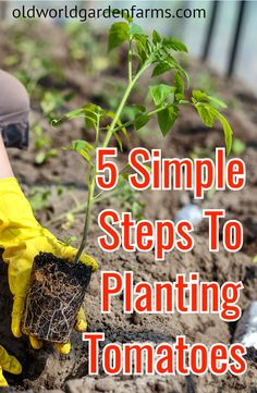 How you plant does matter!! Learn the 5 steps to planting tomatoes for a great harvest this year! #plantingtomatoes #garden #vegetablegarden #organic #tomatoplants #tomatoes #oldworldgardenfarms