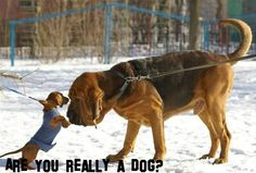 OMG this is my house when the family is together! 2 dachshunds and our bloodhound!