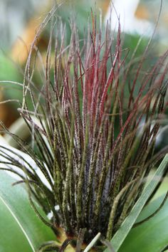 Tillandsia magnusiana /photo by TIm Travis Air Plants Care, Plant Care, All About Plants, Air Plant Display, Low Maintenance Plants, Rare Flowers, Garden Pictures, Succulents Garden, Trees To Plant