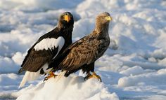 "Most of the time these two species, Steller's Sea Eagle on the left and White-tailed Eagle n the right hand side, are living together in perfect harmony on the drifting ice in Nemuro Strait a few miles Northeast of Rausu on Hokkaido, Japan.  ©<a href=""http://www.hewaph.com"">Harry Eggens</a>  Best wishes and a nice day,  Harry"