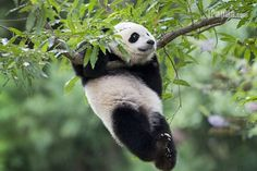 A total of 42 adult pandas and cubs were living overseas in 12 countries by June 2014. ipanda.com