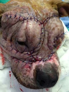 Please help us put an end to dog-fighting today and call 911 if you have info in your area of people using dogs that end in death and injuries as shown in this pic of an innocent animal used for dog fighting