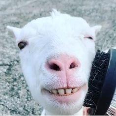 #repost @guts1234567890 . 👑👸🏼👑👸🏼👑👸🏼👑👸🏼👑👸🏼👑 . YOᑌ ᗩᖇE ᗩ ᑫᑌEEᑎ? ᗰᖇᔕ GᑌTᔕ Iᔕ ᗩ ᑫᑌEEᑎ. ᗩᑎᗪ ᔕᕼE ᒪOᐯEᔕ TO GET ᗷᖇᑌᔕᕼEᗪ ᕼEᖇ ᕼᗩIᖇY. ᔕᕼE ᒪOOKᔕ ᔕO ᖇEᒪᗩ᙭Eᗪ ᗩᑎᗪ ᕼᗩᑭᑭY. ᗯᕼᗩT ᗪO YOᑌ TᕼIᑎK?? . ᒪOᐯE IT, ᒪIKE IT, ᖴOᒪᒪOᗯ ᑌᔕ!! . 👑🌞👑🌞👑🌞👑🌞👑🌞👑 Baby Farm Animals, Baby Cows, Cute Little Animals, Happy Animals, Cute Funny Animals, Animals And Pets, Lachen Macht Happy, Cute Baby Cow, Fluffy Cows