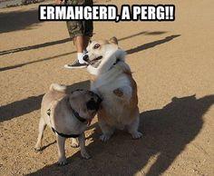 Funny - Corgi spots a pug - www.funny-pictures-blog.com #funnycorgi