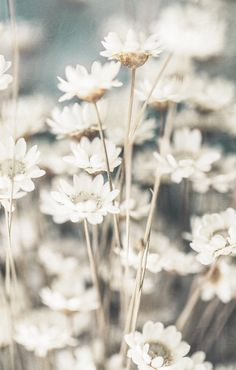 White flowers ★ iPhone wallpaper