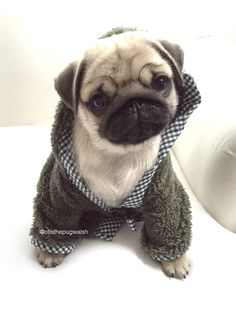 Who wants to get to know this adorable boy? Head on over to the blog to get to know Milo in our latest social pug profile. http://www.thepugdiary.com/social-pug-profile-milo/