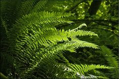 Jungle Ferns - Saferbrowser Yahoo Image Search Results