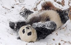 15 Pictures of Pandas Playing in the Snow | Geekosystem