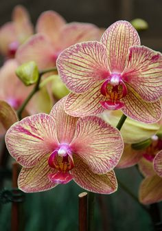 kaleidoscope phalaenopsis orchid | phalaenopsis kaleidoscope dendrobium red emperor prince phalaenopsis ...