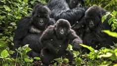 A U.K. oil giant has agreed to leave Africa's Virunga National Park, home to 25 percent of Earth's mountain gorillas.