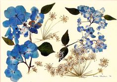 Lovely Hydrangea pressed flower print with a Queen Anne accent. Dried And Pressed Flowers, Pressed Flower Art, Botanical Illustration, Botanical Prints, Diy Flowers, Blue Flowers, How To Preserve Flowers, Illustrations, Flower Cards