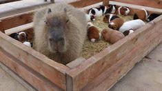 Capybara and Guinea Pigs - ha ha ha the Capybara looks sooooo unimpressed.