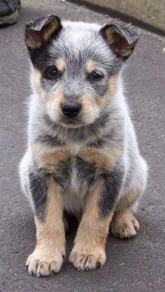 Australian Shepard too cute