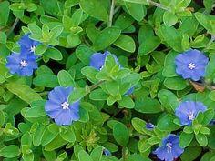 PLANTAS QUE VÃO BEM NO TELHADO VERDE  Azulzinha: espécie rasteira com pequenas flores azuis e lilás que florescem durante todo o ano. Não suporta o pisoteio nem temperaturas muito baixas. Requer podas esporádicas e regas freqüentes para manter as flores e folhas viçosas.