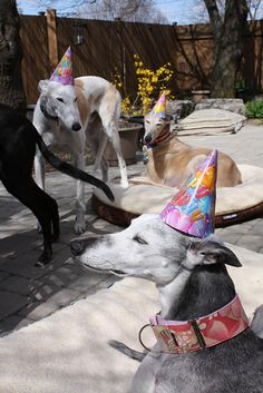 Greyhounds in birthday hats! Its my party and I can run if I want to, run if I want to ...