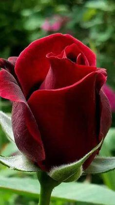 when do hybrid tea roses bloom Beautiful Rose Flowers, Exotic Flowers, Amazing Flowers, Beautiful Flowers, Rosa Rose, Hybrid Tea Roses, Flower Wallpaper, Rose Buds, Bloom