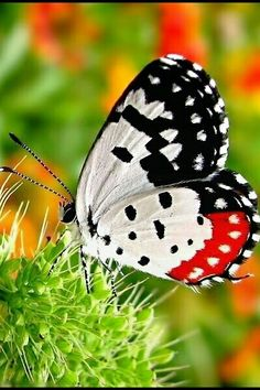 The Red Pierrot , a butterfly so beautiful in its striking patterns of red, white and black. By Iris Hues Butterfly Kisses, Butterfly Flowers, Butterfly Wings, White Butterfly, Butterfly House, Beautiful Bugs, Beautiful Butterflies, Flying Flowers, Moth Caterpillar