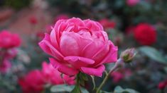 Herbs for Valentine's Day - roses