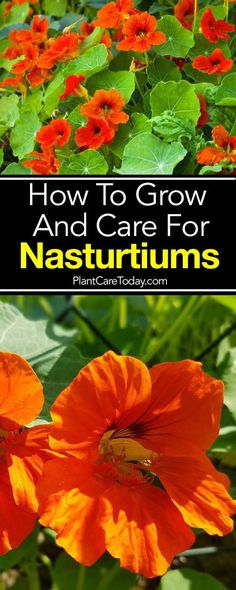 The Nasturtium flower: attractive, versatile, easy to grow climbing, bushy cascading plant for the landscape garden. Get growing and care tips [LEARN MORE]