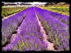 Lavender field, Sequim,Wa