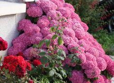 гортензия мега минди - Поиск в Google Pink Hydrangea, Hydrangeas, Colorful Wall Art, Buy Art Online, Wall Colors, Beautiful Images, Still Life, Fine Art, Landscape