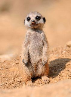 Brain Magazine - Page Pute - Nous vouloir un bébé suricate
