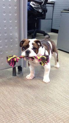 bulldog wants to play