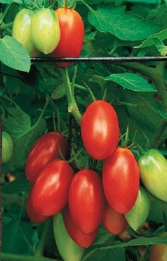12 Top Tomato Tips (from Birds & Blooms): The rule of thumb is that you'll need two tomato plants for every tomato eater in your household. But if you plan on canning, four per person is more accurate.