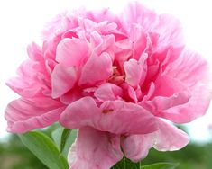 peonies flowers | when seeding peony flowers as soon as they are acquired being cautious ...