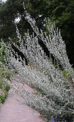 Mature Silver King Artemisia Graces a Moon Garden - DominusVobiscum