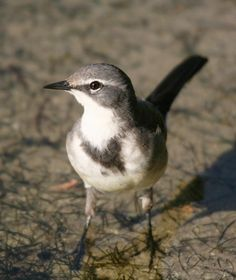 CAPE WAGTAIL - Motacilla capensis . . . E Zaire, Angola to Kenya to the Cape in South Africa . . . Photo: Matthew Orolowitz