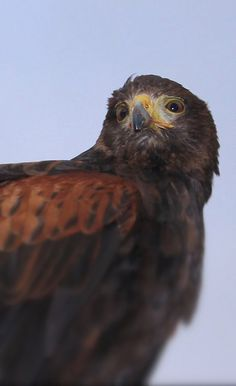 Harris Hawk, Bird of Prey - by DC