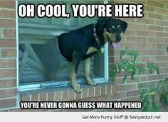 Dog breaks out of the house through the window screen