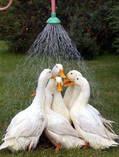 Swan Shower Quintet