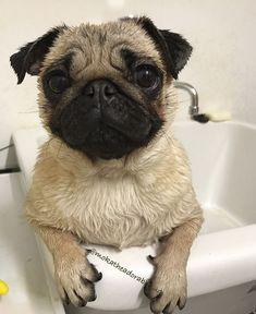 We have an adorable Italian #pug sharing about her life. Meet Moka the adorable pug >>> http://www.thepugdiary.com/social-pug-profile-moka-the-adorable-pug/