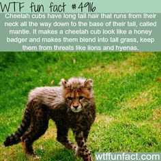 """Cat Nutrition Facts Cheetah Cubs - have long hair (mantles) to safely """"camouflage"""" from Predators, in tall grass! ~WTF a weird Wow Facts, Wtf Fun Facts, Funny Facts, Random Facts, Crazy Facts, Crazy Animal Facts, Strange Facts, Funny Gifs, Videos Funny"""