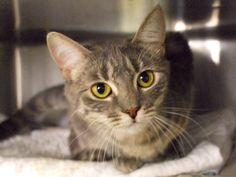 SASHA - A1071544 - - Manhattan  Please Share:   ***TO BE DESTROYED 05/20/16*** SWEET HEADBUTTING SOCIAL KITTEN SASHA WAS DUMPED FOR PET HEALTH BUT ALL SHE HAS IS A COLD! SASHA was only with her current owner for 2 days – her previous owner was evicted and gave her away. She didn't get along with this current owner's 7 other cats so they felt it was best to find her a new home – but we can see how well the ACC tried to find SASHA a home! This girl was