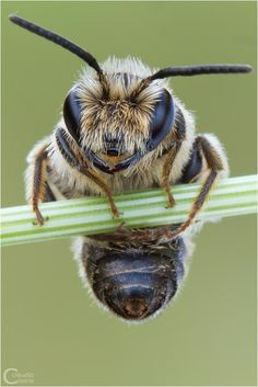 Wow, who ever thought a bee could have an adorable fuzzy face! Wow, who ever thought a bee could have Beautiful Creatures, Animals Beautiful, Animals And Pets, Cute Animals, Wild Animals, Foto Macro, I Love Bees, Bees And Wasps, Bee Art