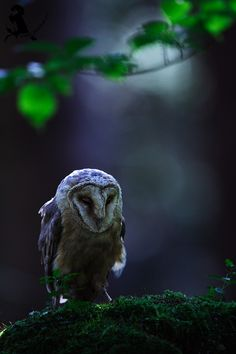 "fairy-wren:"" barn owl(photo by jiri michal)"""