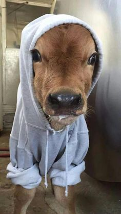 Baby cow in a hoodie – culture: the word on cheese - Baby Animals Baby Farm Animals, Baby Cows, Baby Animals Pictures, Cute Little Animals, Cute Animal Pictures, Cute Funny Animals, Animals And Pets, Funny Cow Pictures, Fluffy Cows
