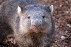 Otto, a Tasmanian wombat, waddles around the Albuquerque BioPark Zoo