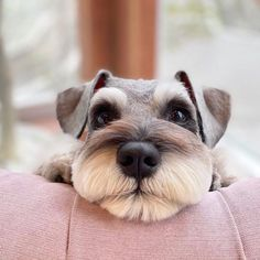 Schnauzer Grooming, Miniature Schnauzer Puppies, Schnauzer Puppy, Dog Grooming, Cute Puppies, Cute Dogs, Dogs And Puppies, Doggies, Dog Pictures