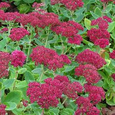image de Sedum spectabile Autumn Fire
