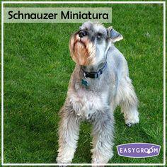 Schnauzer Miniatura #MiniDog #Dog #Pet #LittleDog #Raza #Pequeña #Perro #EasyGroom